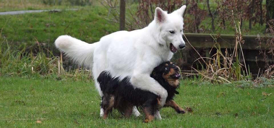spelende-honden